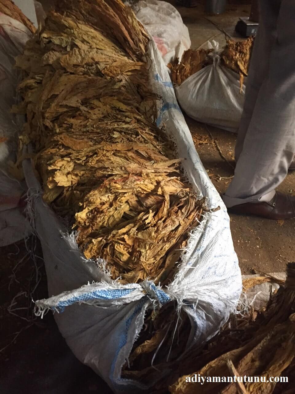 kıyım işlemi için getirilmiş tütün yaprakları