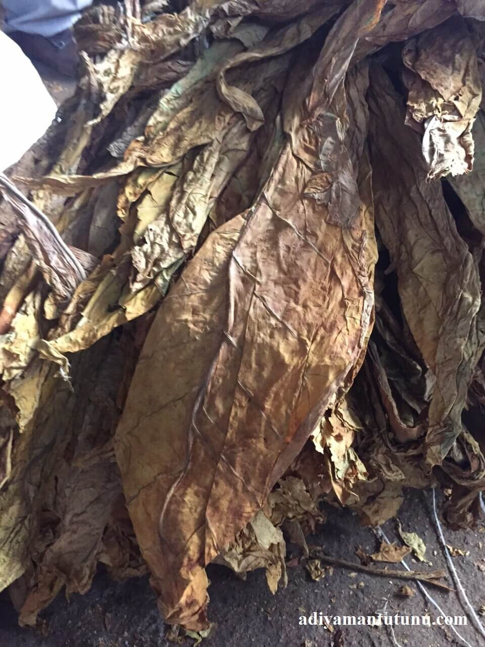 kurumuş tütün yaprağı